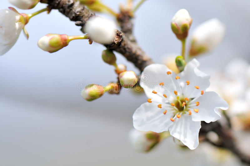 Download Cherry blossom stock image. Image of white, oriental - 33971827