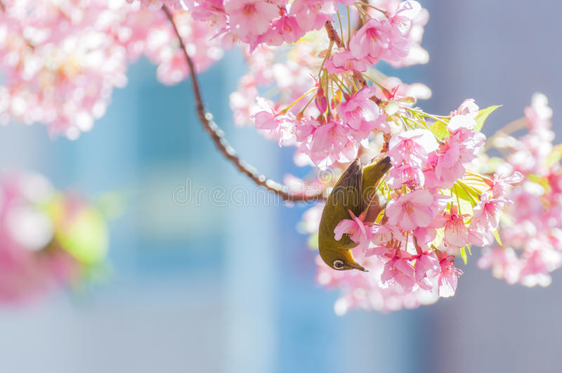 Cherry blossom and White-eyes stock photos