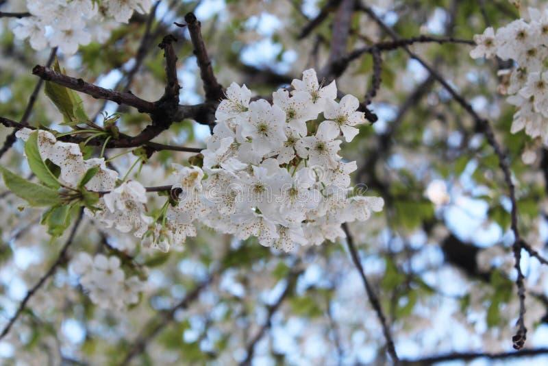 Cherry blossom, white. stock image