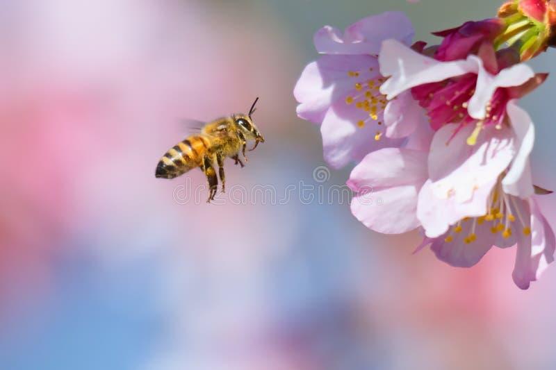 Cherry Blossom y abeja imagen de archivo