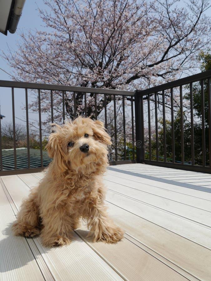 Cherry Blossom y Orio fotografía de archivo