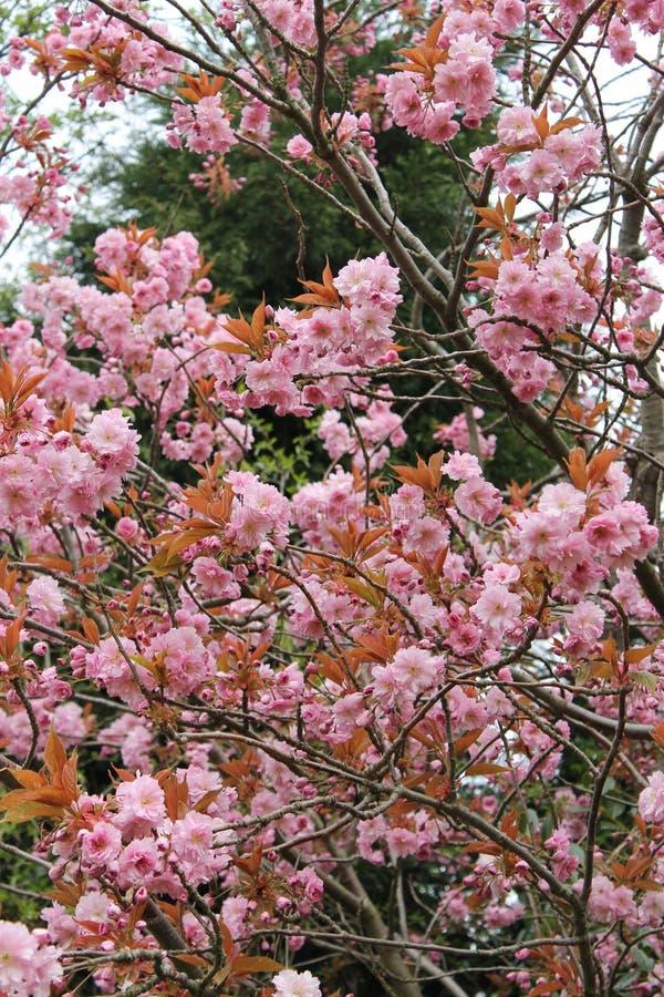 Cherry Blossoms lizenzfreie stockfotos