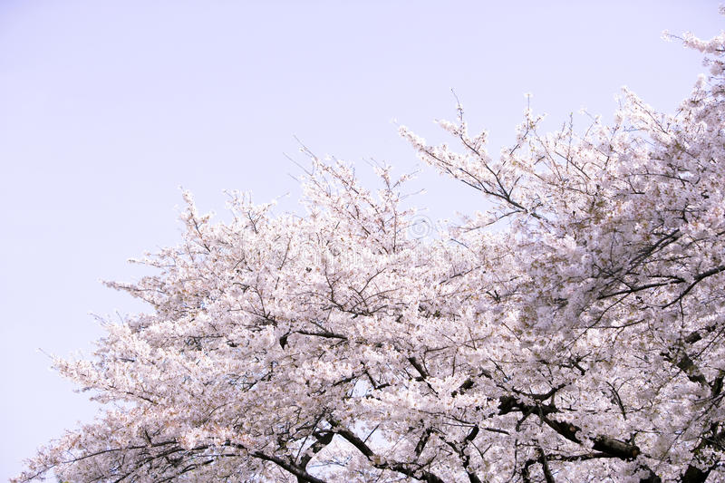 Download Cherry blossoms stock photo. Image of pink, travel, journey - 10152972