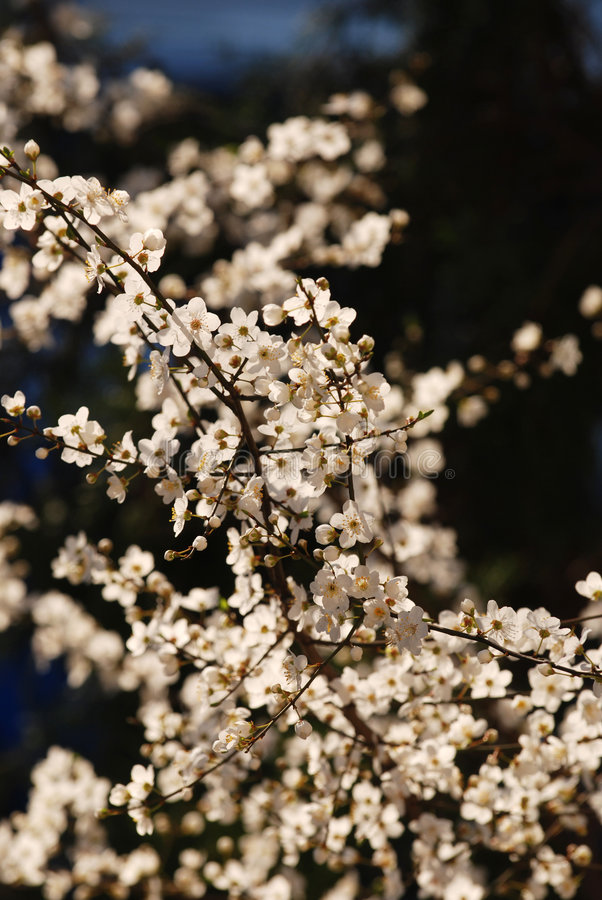 Download Cherry Blossoms Royalty Free Stock Photos - Image: 2088848