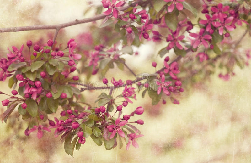 Download Cherry blossoms stock image. Image of outdoor, apples - 24517265