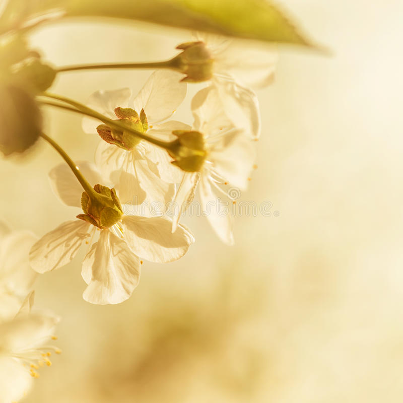 Download Cherry Blossoms stock image. Image of closeup, purity - 24561125