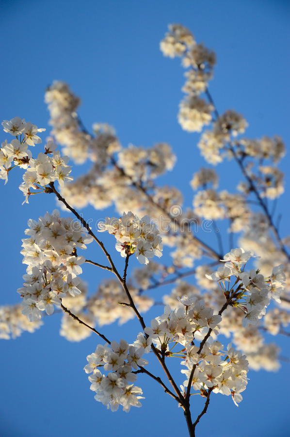 Download Cherry blossoms stock image. Image of seasonal, bloom - 24620595