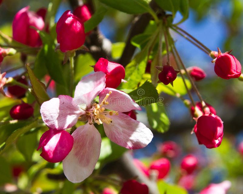 Download Cherry blossoms stock image. Image of flower, homey, gardening - 26955489