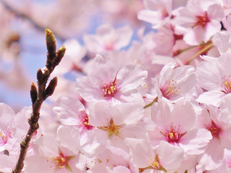 Cherry Blossoms foto de stock royalty free
