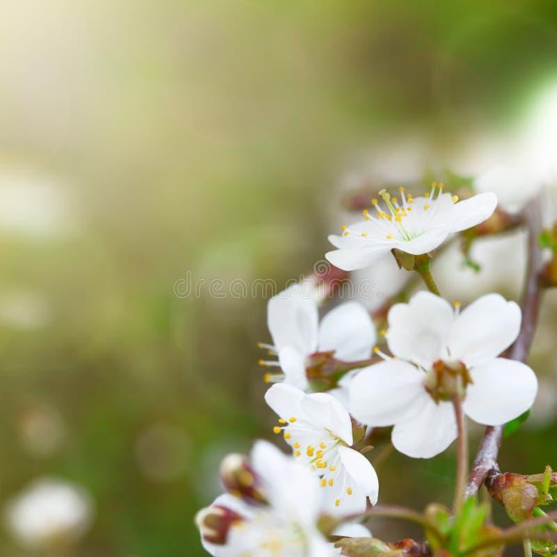 Cherry Blossoms stockfoto