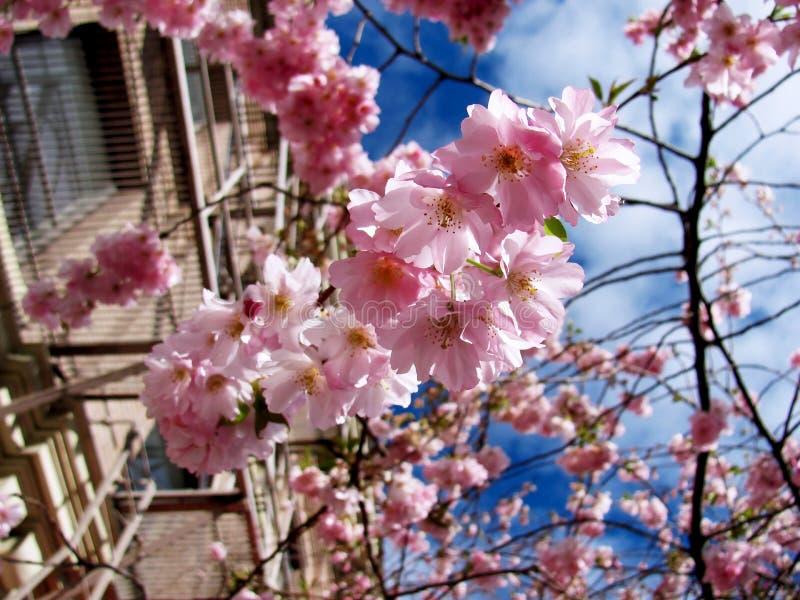 Cherry Blossoms royalty-vrije stock foto's