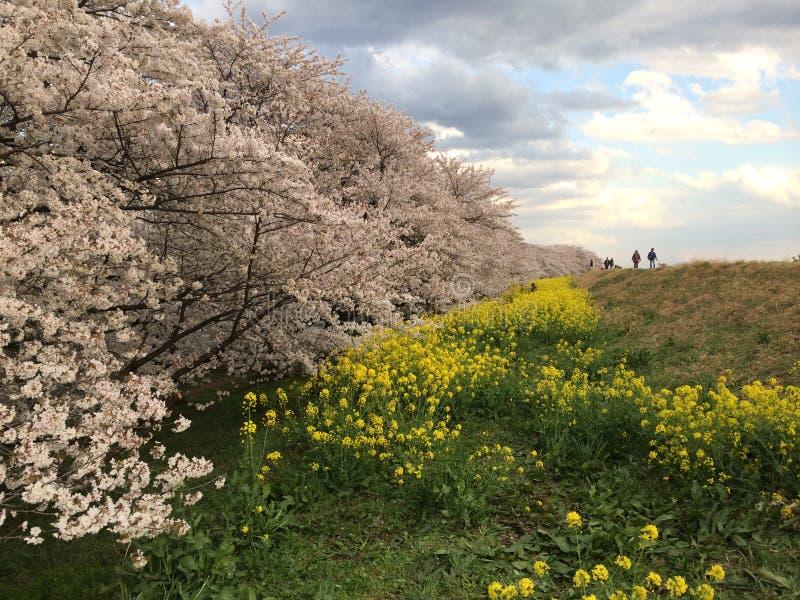 Download Cherry Blossoms image stock. Image du végétation, japan - 45364701