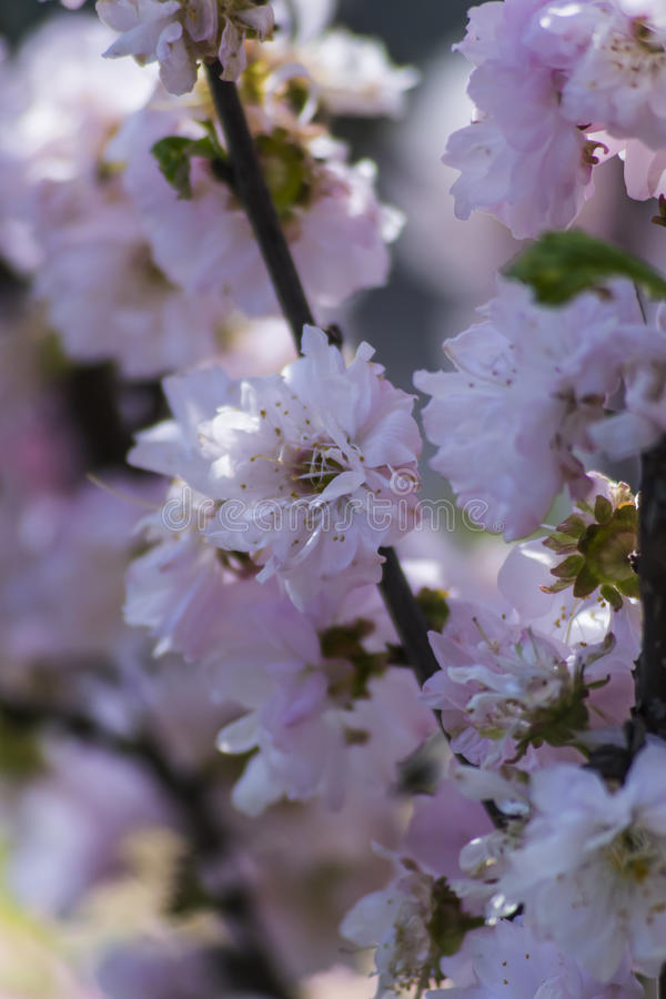Cherry Blossoms stock fotografie