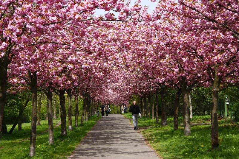 Cherry Blossoms immagine stock
