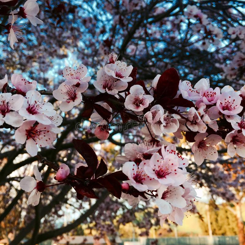 Cherry Blossoms photo stock