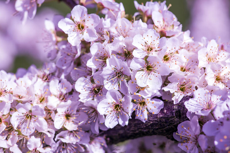 Cherry Blossoms imagenes de archivo