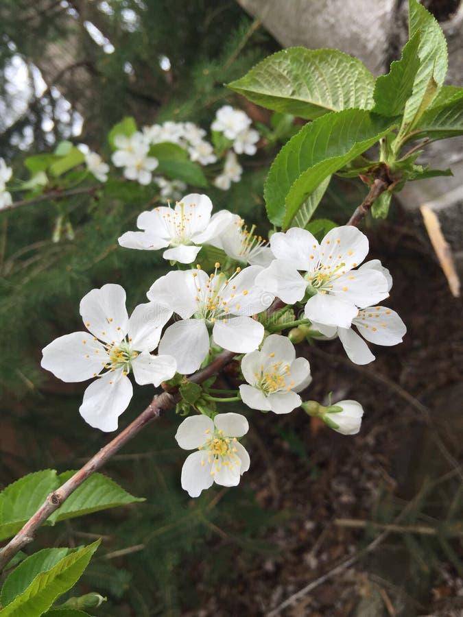 Cherry Blossoms lizenzfreie stockbilder