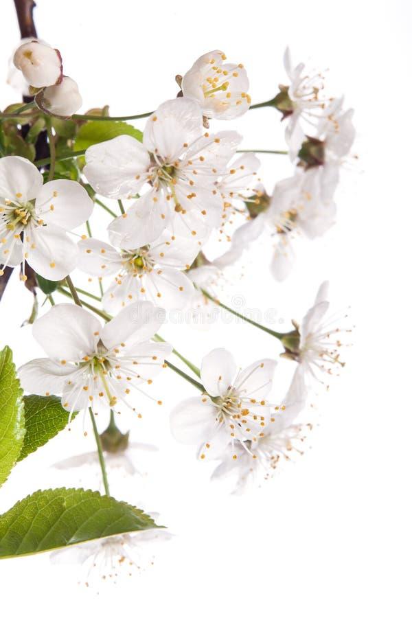 Cherry Blossoms fotos de archivo