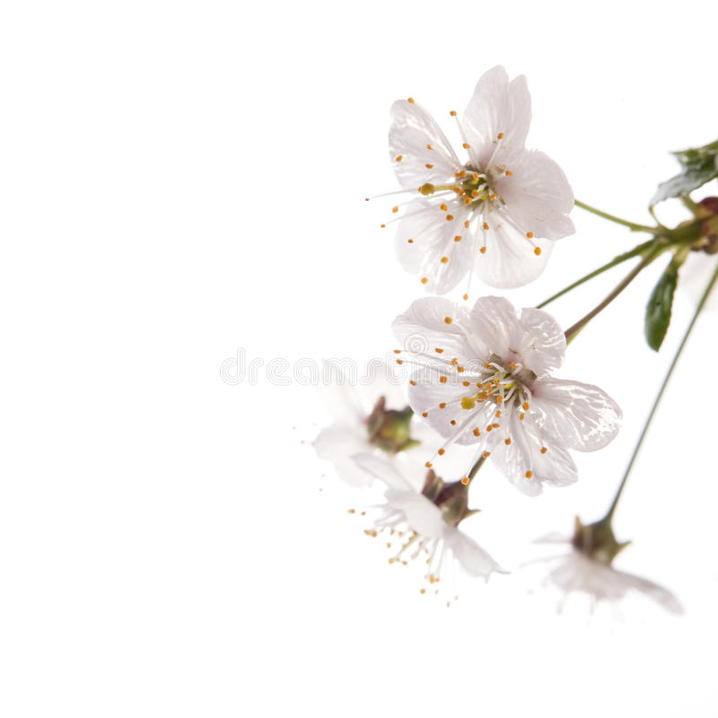 Cherry Blossoms foto de archivo libre de regalías