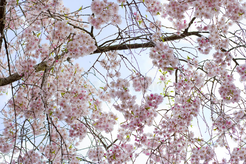 Download Cherry blossoms stock image. Image of green, blooming - 5741411