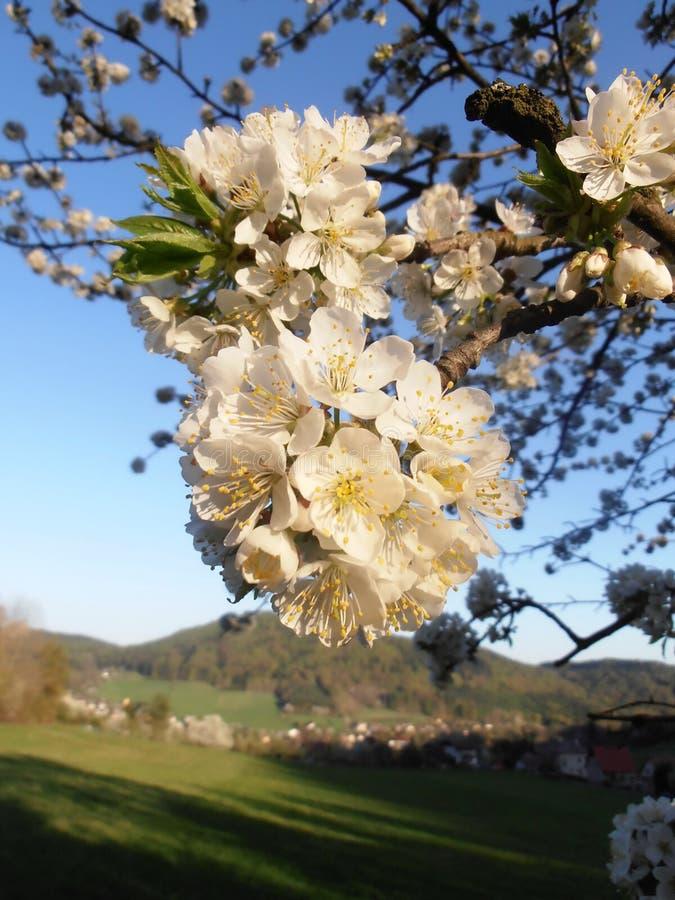 Cherry Blossoms fotos de stock