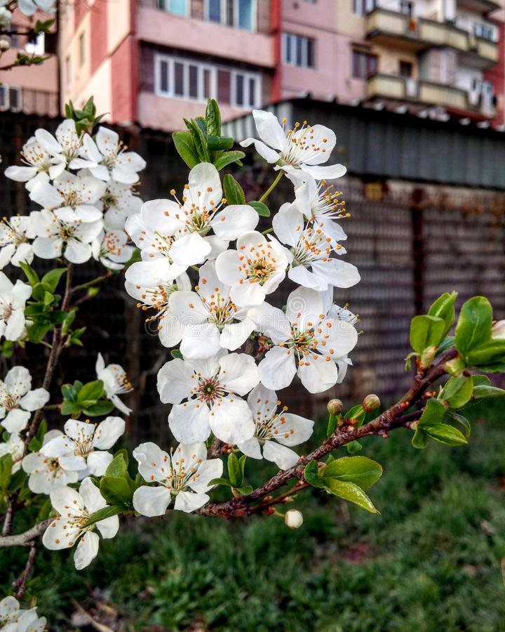 Cherry Blossoms imagen de archivo libre de regalías