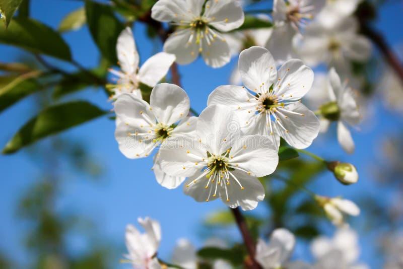 Cherry Blossoms fotografia de stock