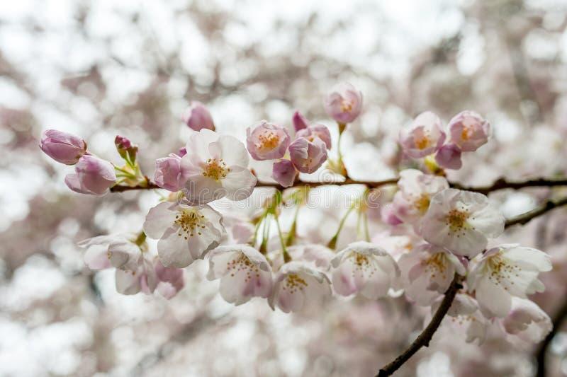 Cherry Blossoms fotografie stock