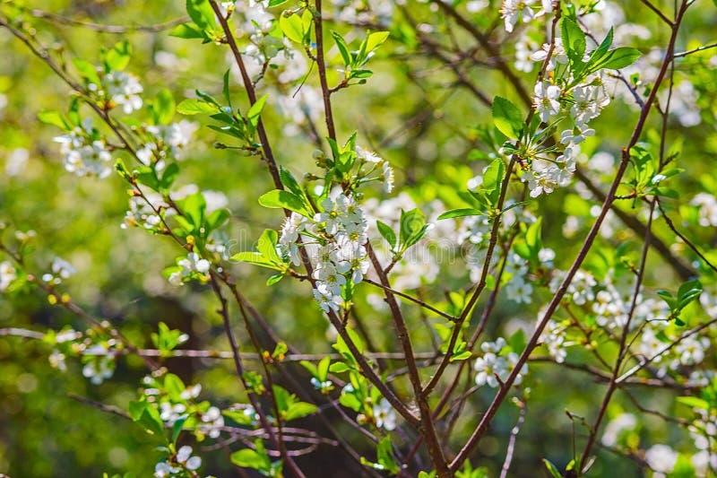 Cherry Blossoms images libres de droits