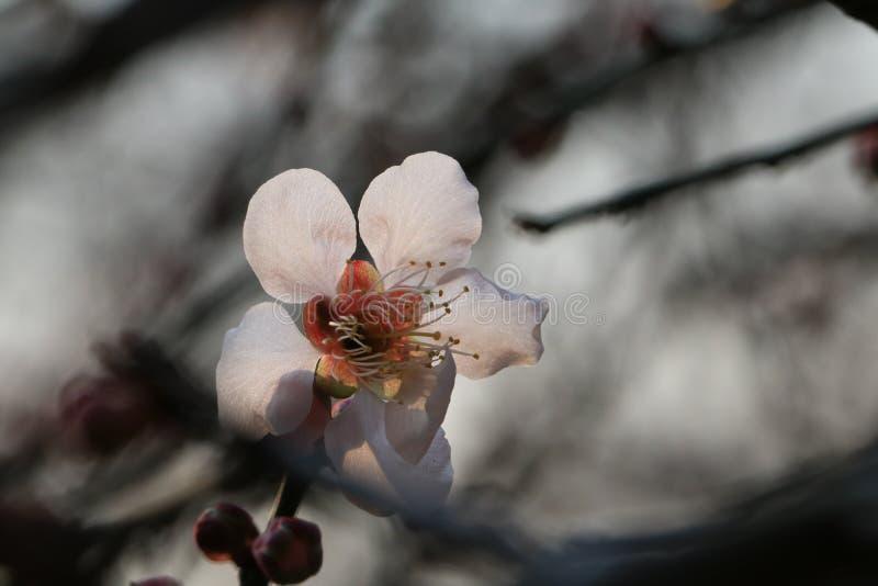 Cherry Blossoms fotografía de archivo
