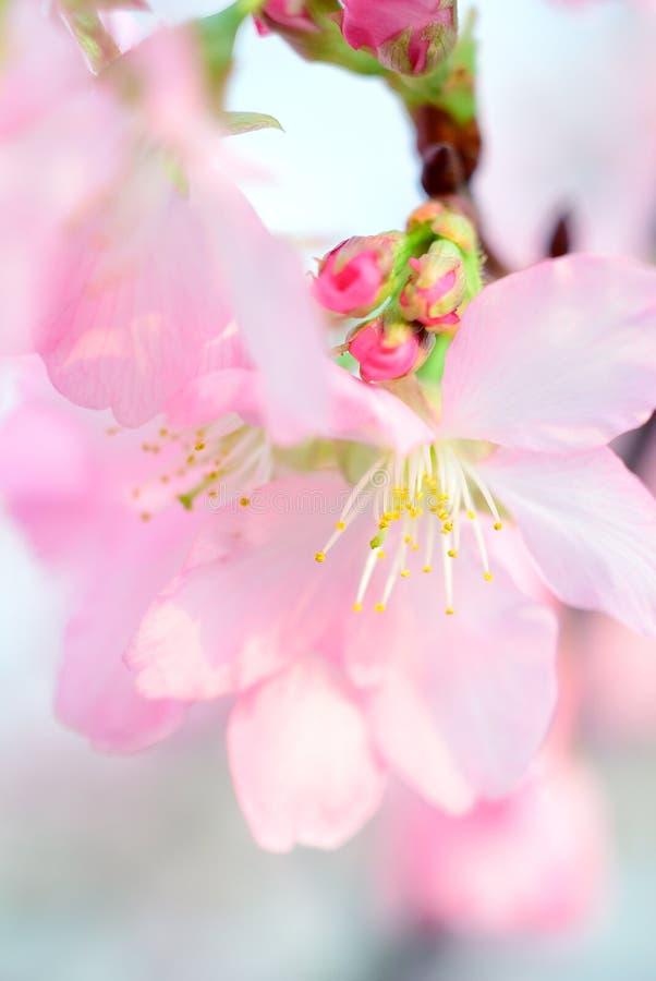 Download Cherry Blossoms stockfoto. Bild von kirsche, baum, blüten - 90227248