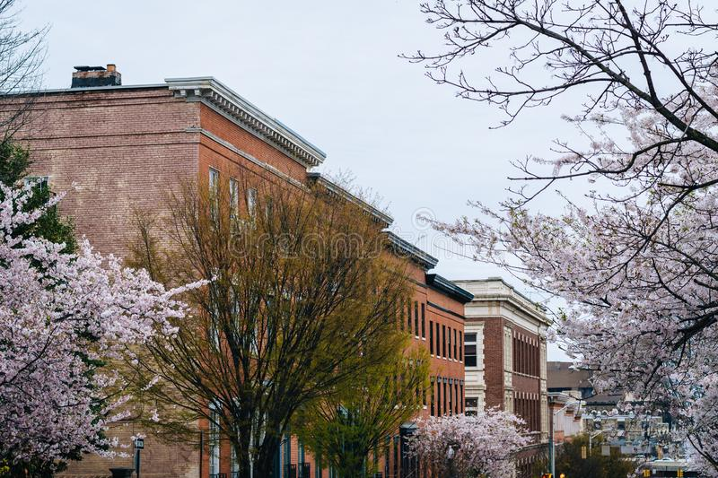 Cherry blossoms along Madison Street in Mount Vernon, Baltimore, Maryland.  stock image