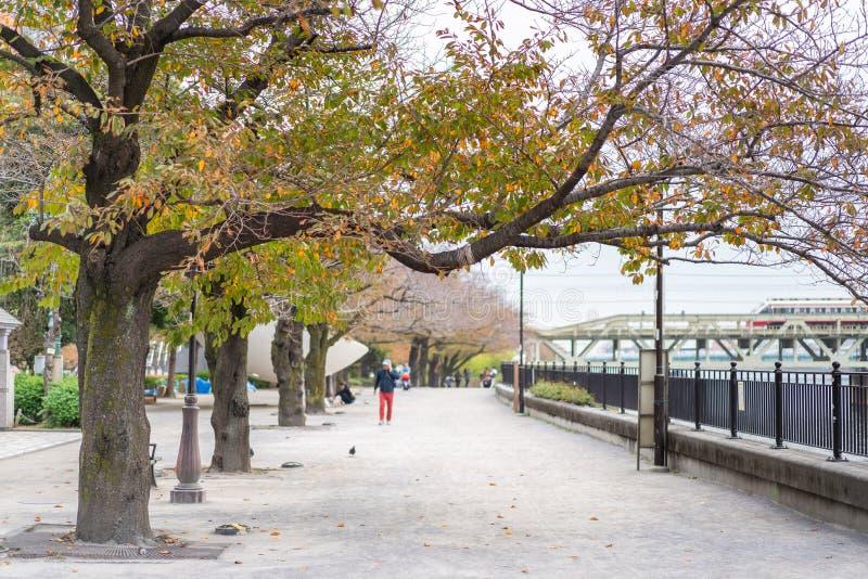 Cherry Blossoms Along som den Sumida floden i Tsukuda parkerar arkivfoton