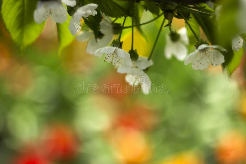 The cherry blossoms on the background of tulips, white flowering royalty free stock photos