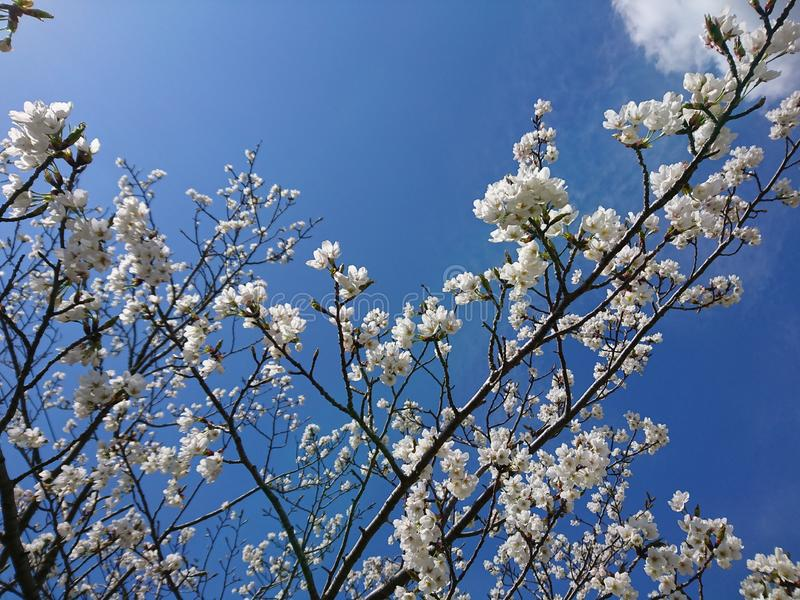 Cherry Blossoms with beautiful blue sky background. Sakura cherry blossom blossoms beautiful background blu blue sky royalty free stock image