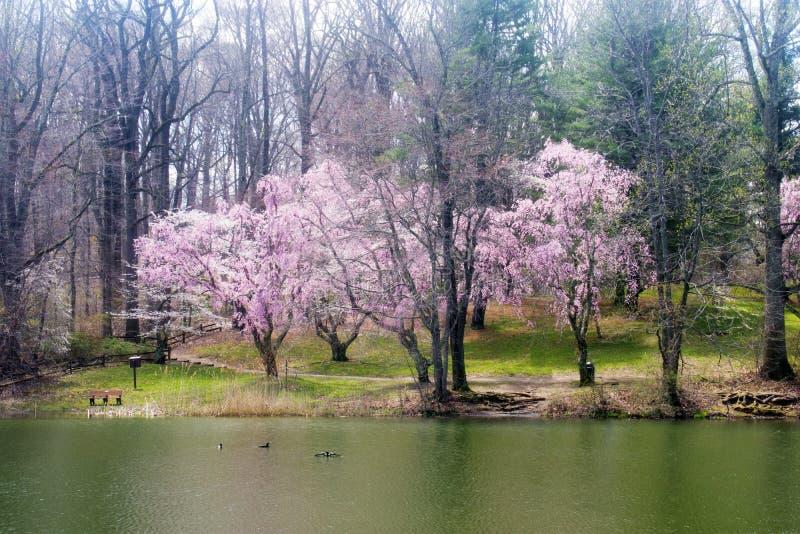 Cherry Blossoms bij Holmdel-Park -02 stock foto