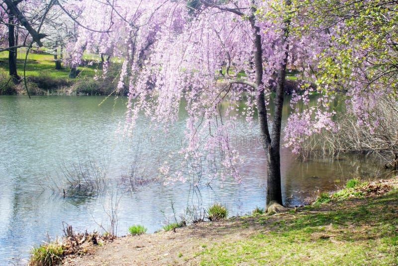 Cherry Blossoms bij Holmdel-Park -04 stock afbeeldingen