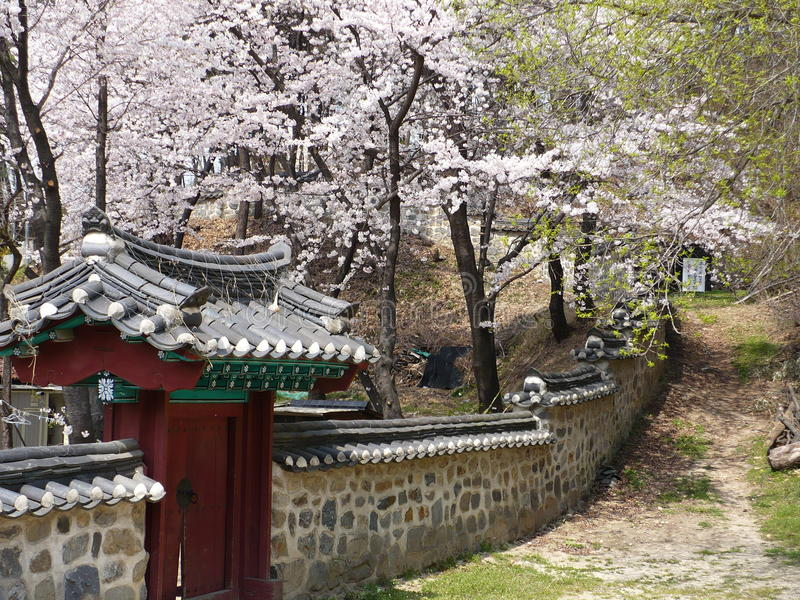 Cherry Blossoms Blooming ao longo de uma parede do parque em Coreia do Sul imagens de stock