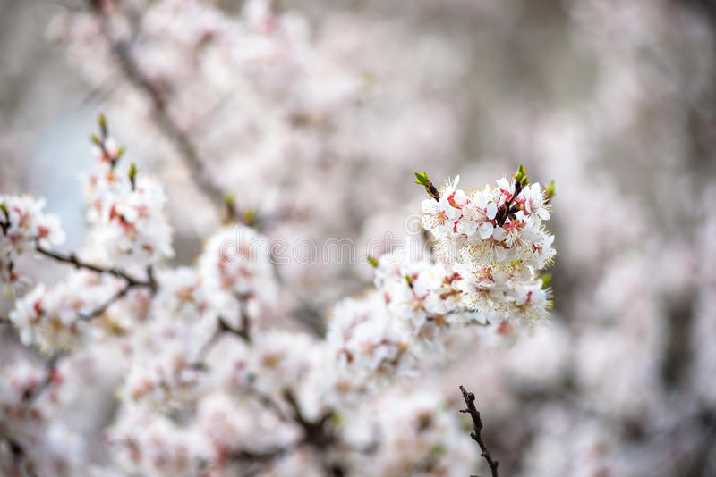 Cherry Blossoms blooming in Takayama, Japan. Portrait of smiling father giving his son piggyback ride outdoors against spring or summer forest or park royalty free stock photo