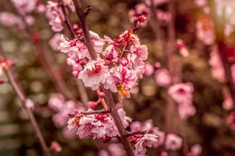 Cherry Blossoms blooms with bumble bee royalty free stock image
