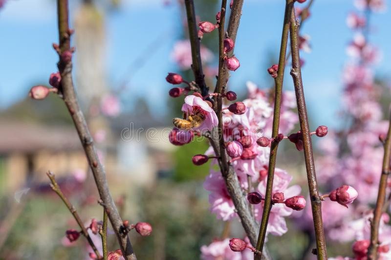 Cherry Blossoms blooms with bumble bee royalty free stock photo