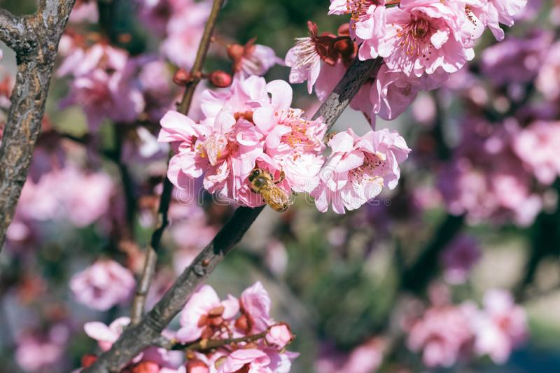 Cherry Blossoms blooms with bumble bee stock photography