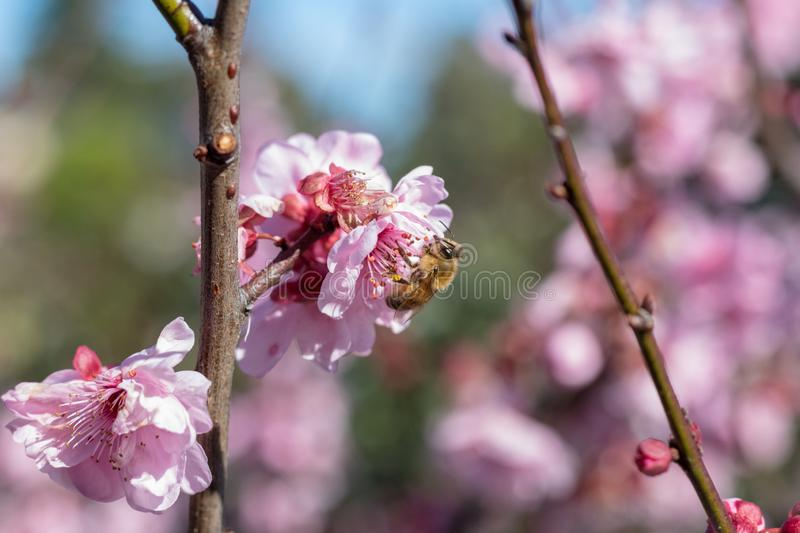 Cherry Blossoms blooms with bumble bee royalty free stock photos