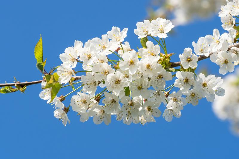 Cherry Blossoms on a blue sky. Spring floral background. Cherry flowers blossoming in the springtime. royalty free stock image