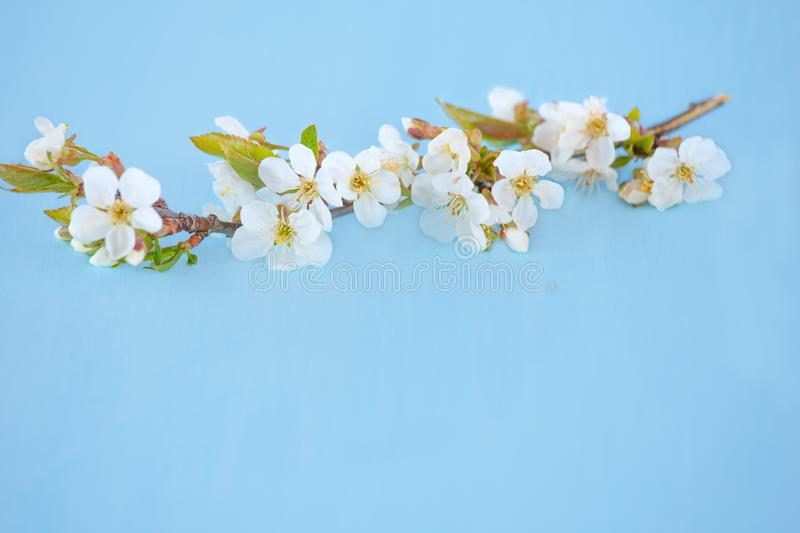 Cherry blossoms branch on blue background. stock images