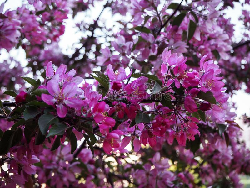 Cherry blossoms branches close view stock photography