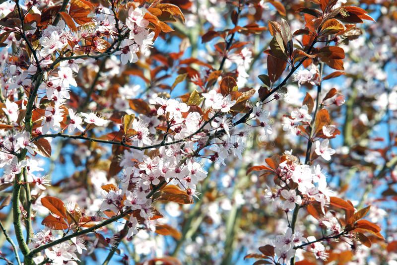 Download Cherry blossoms stock image. Image of trunk, culture - 39165125
