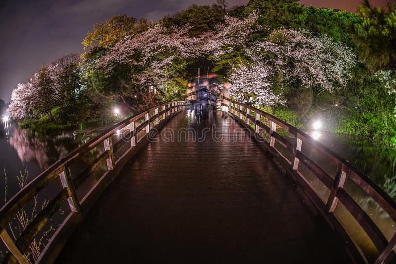 Cherry blossoms and the bridge of the Sankei Garden royalty free stock photos