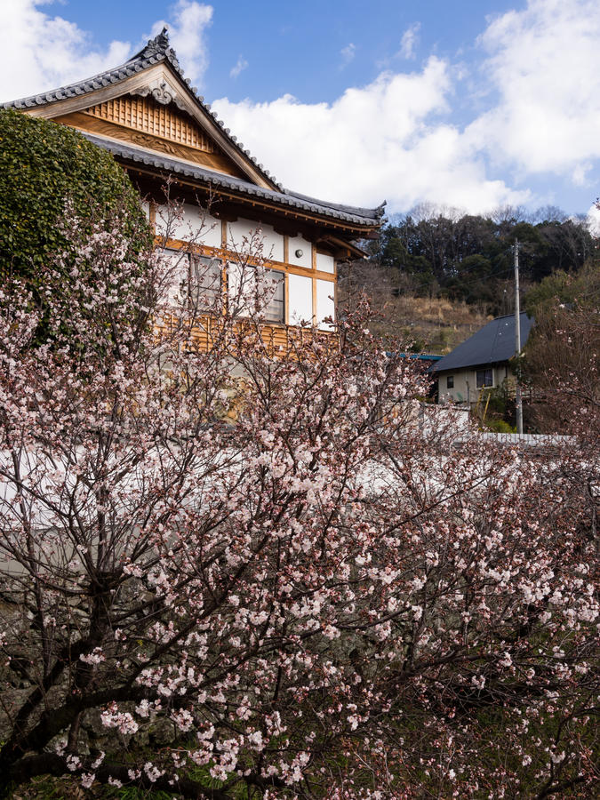 Cherry blossoms at a buddhist temple stock images