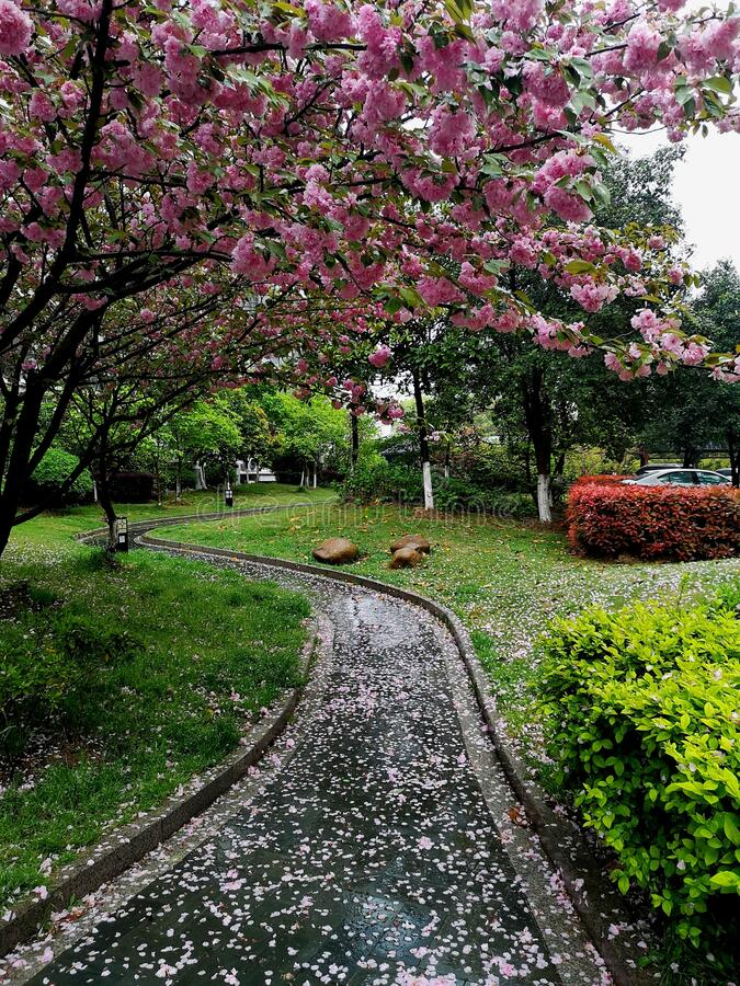 Cherry Blossoms and A Path Covered with Petals royalty free stock photos